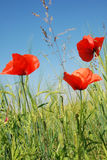Three poppy flowers against blue sky Royalty Free Stock Photography