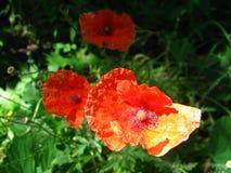 Three poppy flowers grow in a field royalty free stock photo