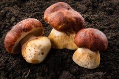 Three porcini mushrooms. Grow in forest. Macro Stock Photos