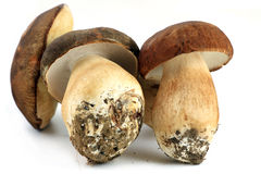 Three porcini mushrooms Stock Images