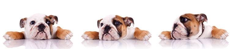 Three poses of an english bulldog puppy Royalty Free Stock Photos