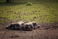 Three pot-bellied pigs resting. Stock Image