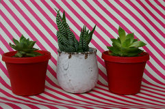 Three pot plants succulents on a striped background Stock Image