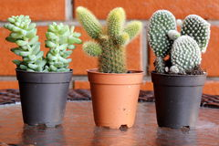 Three Pots of Cactus. Close-up view of three families of Cactus pot plant on a table Royalty Free Stock Photography