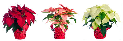 Three Pots of Poinsettia. A row of pots with red, pink and white poinsettia isolated on white stock photos