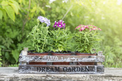Three pots with verbena flowers in wooden box Royalty Free Stock Images
