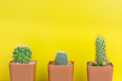 Three potted cactus on yellow background Royalty Free Stock Photo