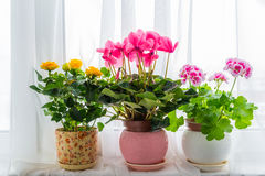 Three potted flower stand on windowsill in curtains background. Three potted flower stand on the windowsill in the curtains background royalty free stock image