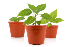 Three Potted hot pepper young plant growing Stock Image