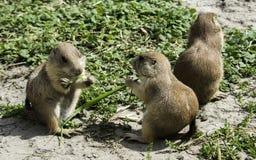 Three prairie dog eating grass Royalty Free Stock Image