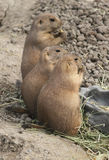 Three Prairie Dogs. Standing up and eating Stock Photo