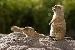 Three prairie dogs at burrow Royalty Free Stock Image