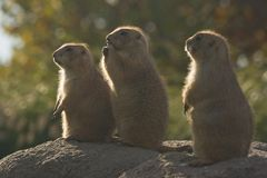 Three Prairiedogs Royalty Free Stock Photography