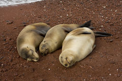 Three pregnant sea lions Stock Photos