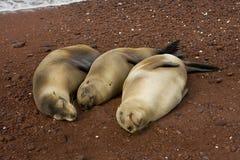 Three pregnant sea lions stock photos