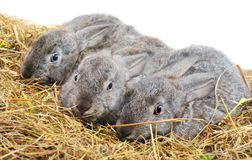 Three pretty bunny Stock Photo