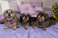 Three pretty elderly wire-haired miniature dachshunds on cushions Royalty Free Stock Images