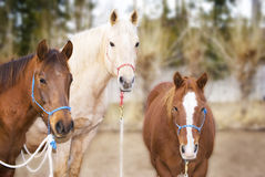 Three Pretty Horses. Horizontal image of a brown, sorrel (chestnut) and palomino horses wearing halters, looking into the camera with pleasant, interested Royalty Free Stock Image