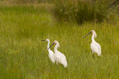 Three pretty white herons walking on the grass Royalty Free Stock Images