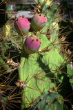 Three prickly pears, opuntia fruits Stock Photo