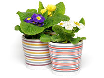 Three Primeroses. In striped flower pots isolated on white background Stock Images