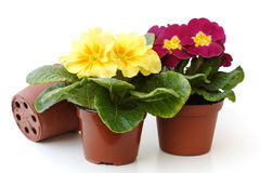 Three Primroses Stock Photography