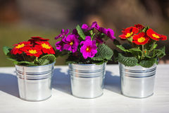 Three primroses in a row. Three primroses in aluminium pots standing in a row side by side Royalty Free Stock Image