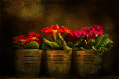 Three primroses in spotlight Stock Image