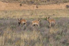 Three Pronghorn Bucks Stock Photography