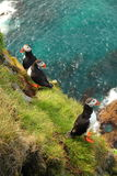 Three puffins Stock Image