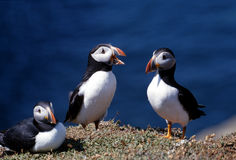 Three puffins Royalty Free Stock Images