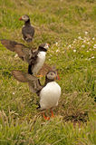 Three puffins near burrows  fratercula arctica Stock Image