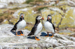 Three Puffins Royalty Free Stock Image