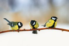 Three lovely puffy tit sitting on a branch in winter Sunny Park stock photography