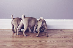Three pug butts Stock Image