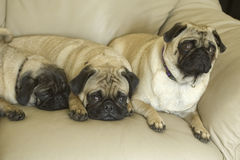 Three pug dogs on couch. Three cute pug dogs lying on sofa or couch with different expressions, sad, tired and concerned Stock Photos