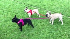 Three pug dogs stock video