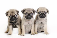 Three  pug puppies. Royalty Free Stock Photography