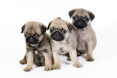 Three pug puppies. Stock Photos