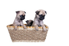 Three pug puppy in a basket Royalty Free Stock Photo