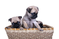 Three pug puppy in a basket Stock Images