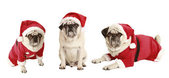 Three pugs as Santa Claus Stock Photo