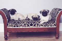 Three pugs on couch upclose. Shot of three pugs on couch upclose royalty free stock images