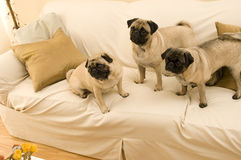 Three Pugs Hanging Out Royalty Free Stock Image