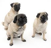 Three Pugs Isolated Royalty Free Stock Image