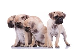Three pugs looking down to side and another one standing out. Three curious seated pugs looking down to side and another one standing out is distracted and looks Royalty Free Stock Photo
