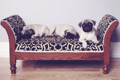Three pugs sleeping on couch Stock Photography