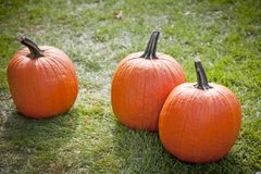 Three pumpkins on grass, backlit Royalty Free Stock Photography