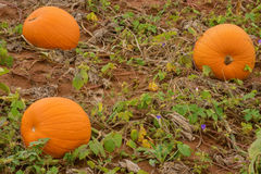 Three Pumpkins Growing Stock Photography