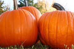 Three Pumpkins Outdoors. Three orange pumpkins sit outdoors on a bright fall day Royalty Free Stock Photos